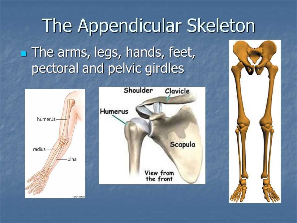 The Appendicular Skeleton The arms, legs, hands, feet, pectoral and pelvic girdles The arms, legs, hands, feet, pectoral and pelvic girdles