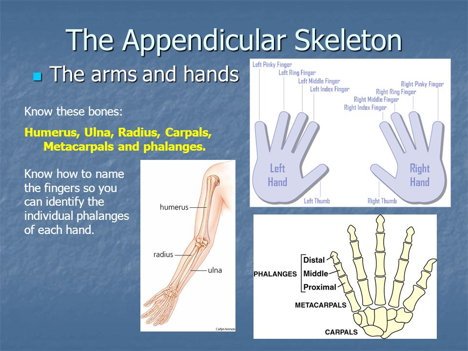 The Appendicular Skeleton The arms and hands The arms and hands Know these bones: Humerus, Ulna, Radius, Carpals, Metacarpals and phalanges. Know how