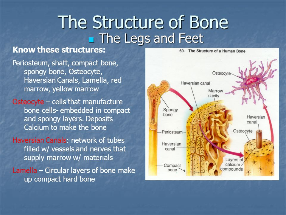 The Structure of Bone The Legs and Feet The Legs and Feet Know these structures: Periosteum, shaft, compact bone, spongy bone, Osteocyte, Haversian Ca