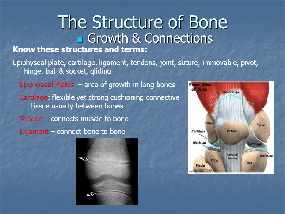 The Structure of Bone Growth & Connections Growth & Connections Know these structures and terms: Epiphyseal plate, cartilage, ligament, tendons, joint