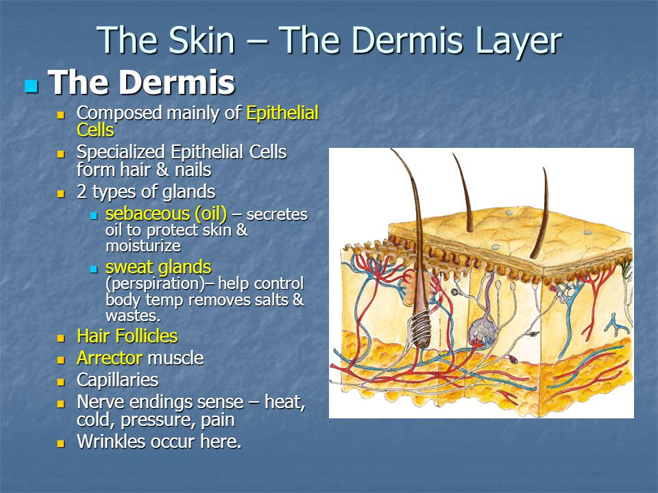 The Dermis The Dermis Composed mainly of Epithelial Cells Composed mainly of Epithelial Cells Specialized Epithelial Cells form hair & nails Specializ