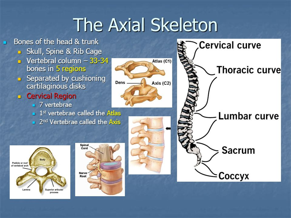 The Axial Skeleton Bones of the head & trunk Bones of the head & trunk Skull, Spine & Rib Cage Skull, Spine & Rib Cage Vertebral column – 33-34 bones
