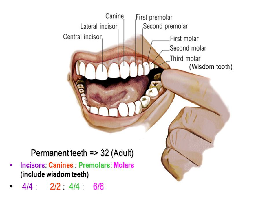Permanent teeth => 32 (Adult) Permanent teeth => 32 (Adult) Incisors: Canines : Premolars: Molars (include wisdom teeth) Incisors: Canines : Premolars: Molars (include wisdom teeth) 4/4 : 2/2 : 4/4 : 6/6 4/4 : 2/2 : 4/4 : 6/6