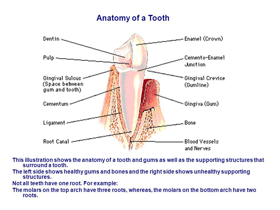 Anatomy of a Tooth This illustration shows the anatomy of a tooth and gums as well as the supporting structures that surround a tooth.