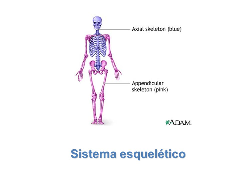 Lesson Overview Lesson Overview The Skeletal System Structure of Bones Within many bones are cavities that contain a soft tissue called bone marrow.