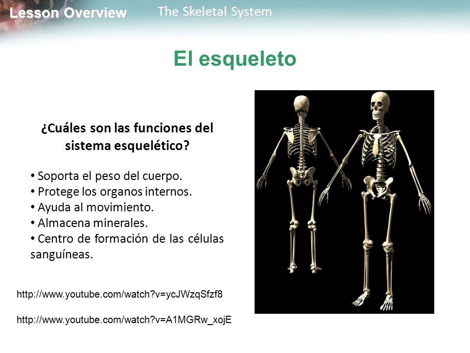 Lesson Overview Lesson Overview The Skeletal System El esqueleto ¿Cuáles son las funciones del sistema esquelético? Soporta el peso del cuerpo. Proteg