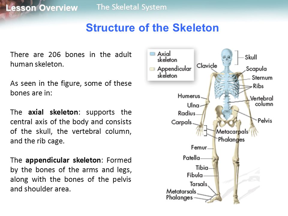 Lesson Overview Lesson Overview The Skeletal System Bones What is the structure of a typical human bone.