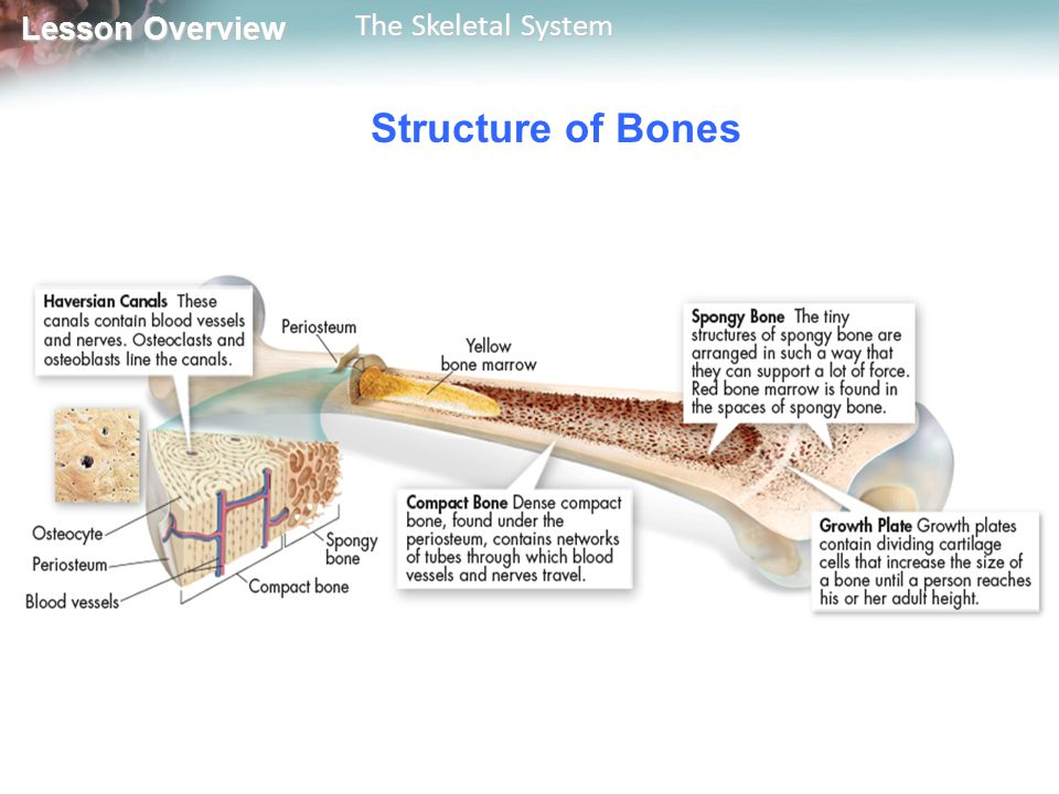 Lesson Overview Lesson Overview The Skeletal System Structure of Bones The bone is surrounded by a tough layer of connective tissue called periosteum.