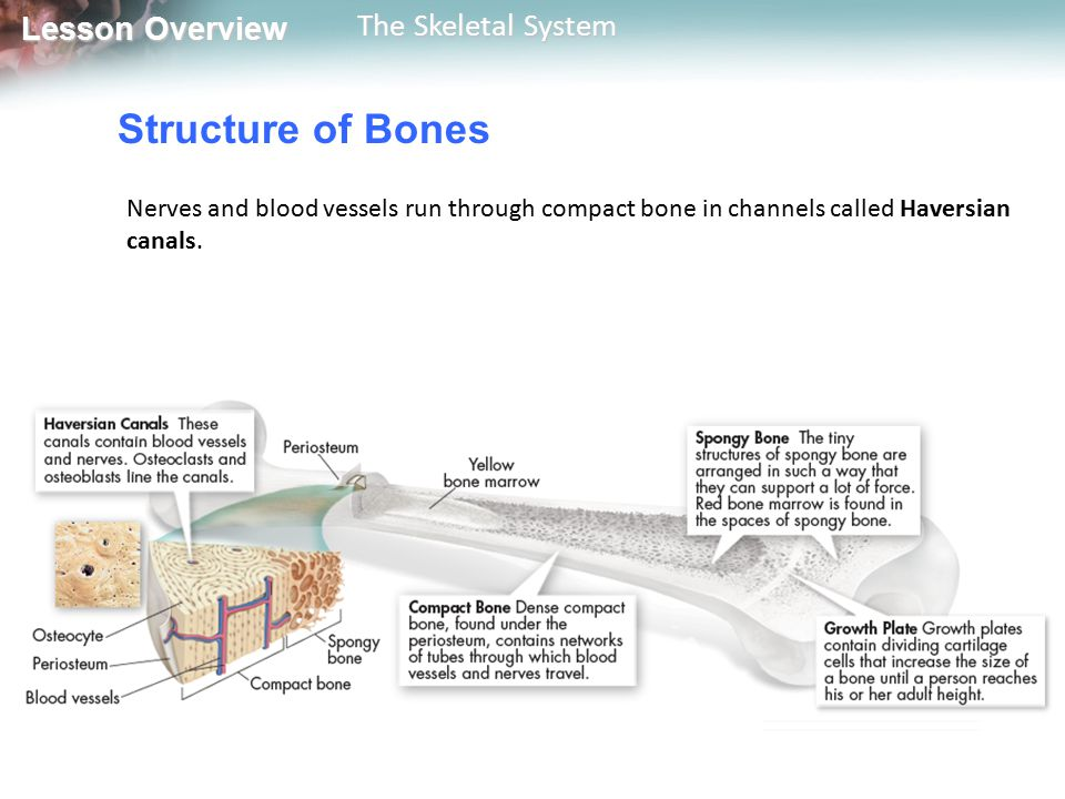 Lesson Overview Lesson Overview The Skeletal System A place where one or more bones meet another bone is called a joint.
