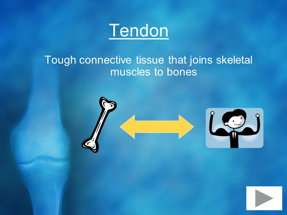 Tendon Tough connective tissue that joins skeletal muscles to bones
