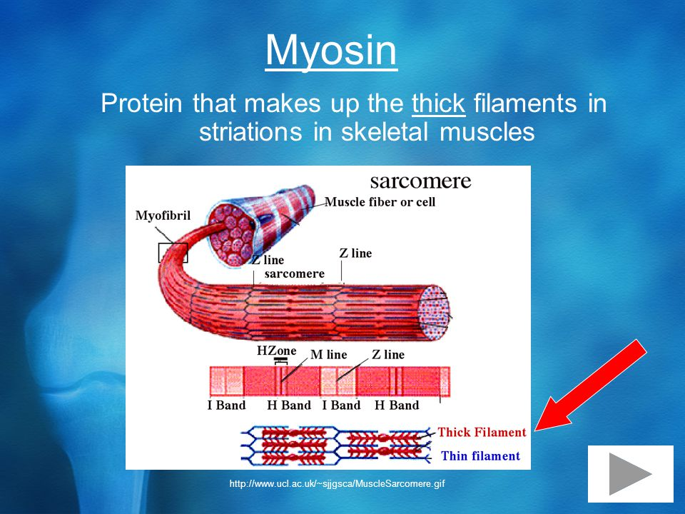 Myosin Protein that makes up the thick filaments in striations in skeletal muscles http://www.ucl.ac.uk/~sjjgsca/MuscleSarcomere.gif