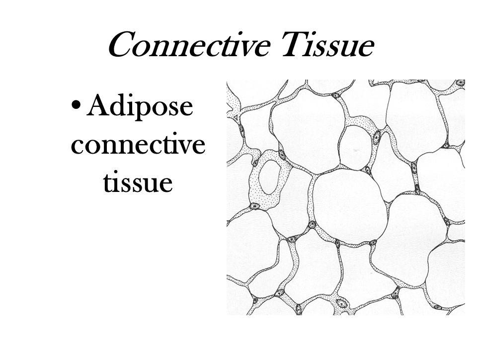 Connective Tissue Adipose connective tissue