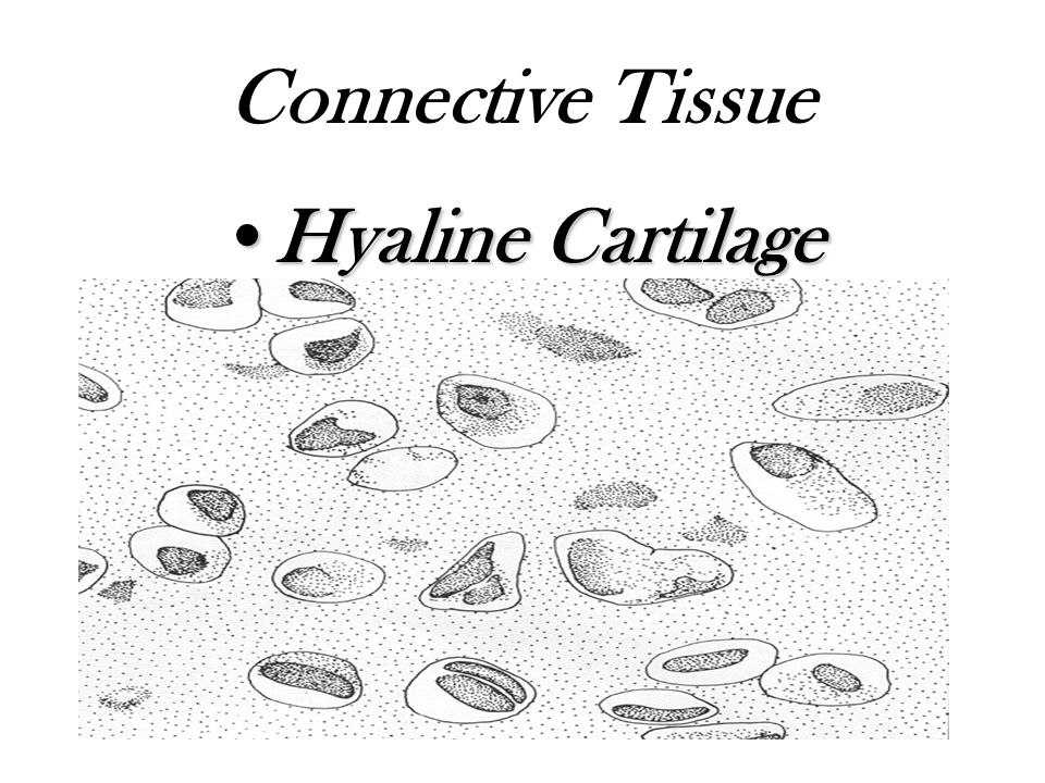 Connective Tissue Hyaline CartilageHyaline Cartilage