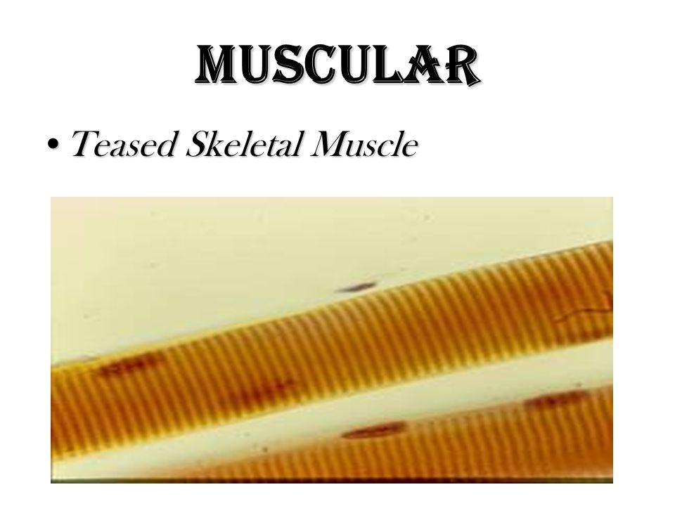 Muscular Teased Skeletal MuscleTeased Skeletal Muscle