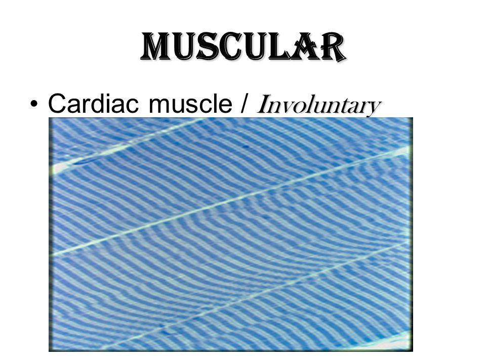 Muscular InvoluntaryCardiac muscle / Involuntary