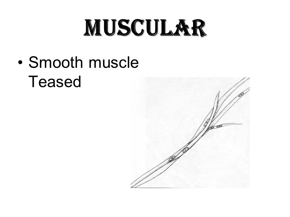 Muscular Smooth muscle Teased