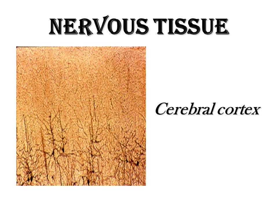 Nervous Tissue Cerebral cortex