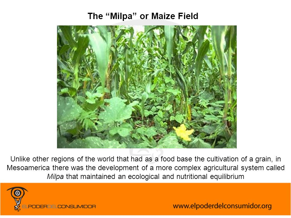 The Milpa or Maize Field Unlike other regions of the world that had as a food base the cultivation of a grain, in Mesoamerica there was the development of a more complex agricultural system called Milpa that maintained an ecological and nutritional equilibrium