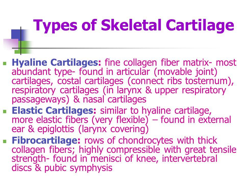 Types of Skeletal Cartilage Hyaline Cartilages: fine collagen fiber matrix- most abundant type- found in articular (movable joint) cartilages, costal