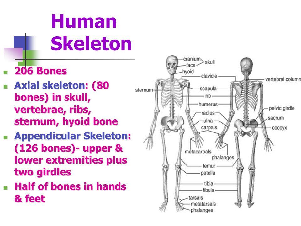 Axial Skeleton (80) Skull Skull Ossicles of the middle ear Ossicles of the middle ear Hyoid bone Hyoid bone Thorax or chest Thorax or chest Vertebral column Vertebral column