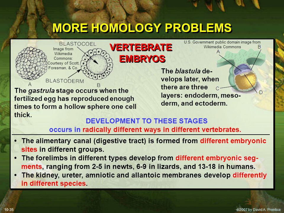  2007 by David A. Prentice MORE HOMOLOGY PROBLEMS 10-35 VERTEBRATE EMBRYOS VERTEBRATE EMBRYOS The gastrula stage occurs when the fertilized egg has