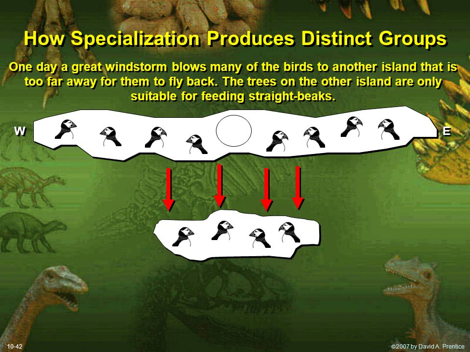  2007 by David A. Prentice How Specialization Produces Distinct Groups 10-42 One day a great windstorm blows many of the birds to another island tha