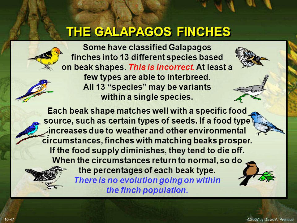  2007 by David A. Prentice THE GALAPAGOS FINCHES Some have classified Galapagos finches into 13 different species based on beak shapes. This is inco