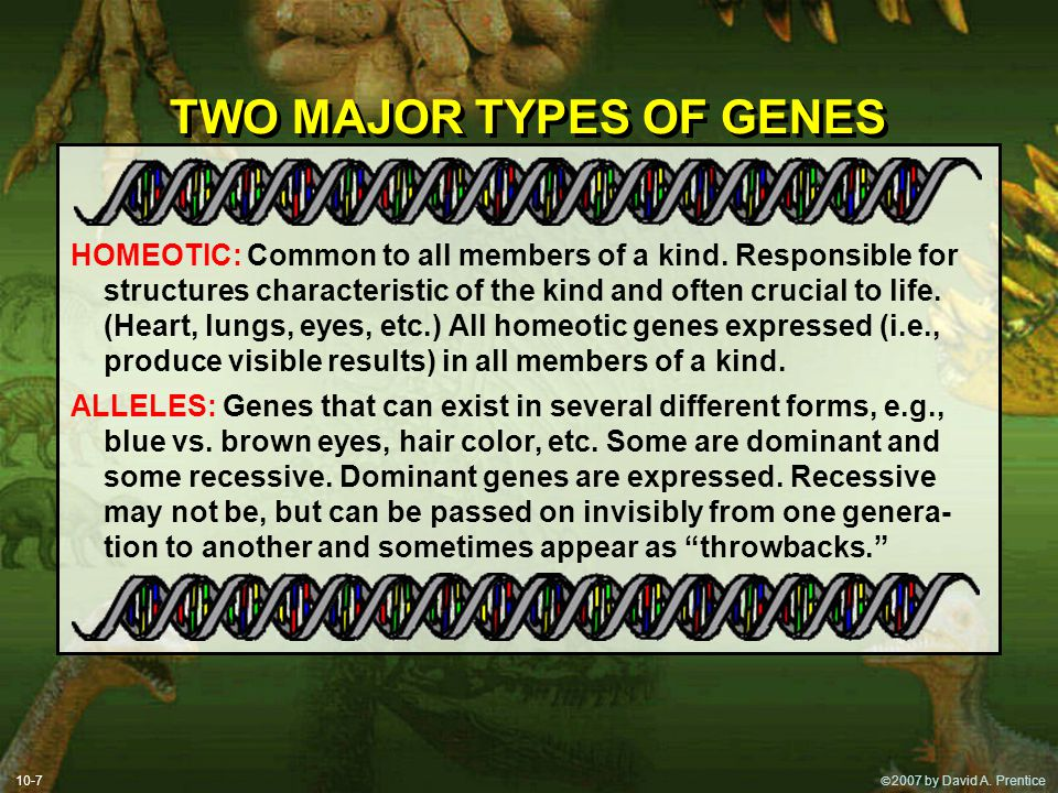  2007 by David A. Prentice TWO MAJOR TYPES OF GENES HOMEOTIC: Common to all members of a kind. Responsible for structures characteristic of the kind