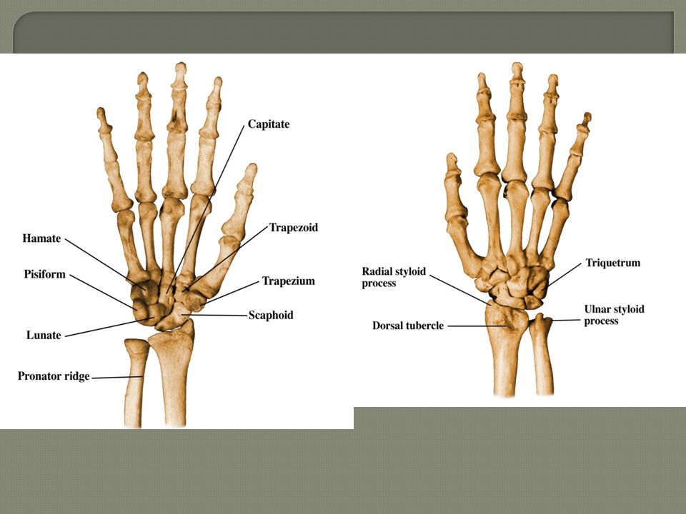  intrinsic (interosseous) ligaments: 2.