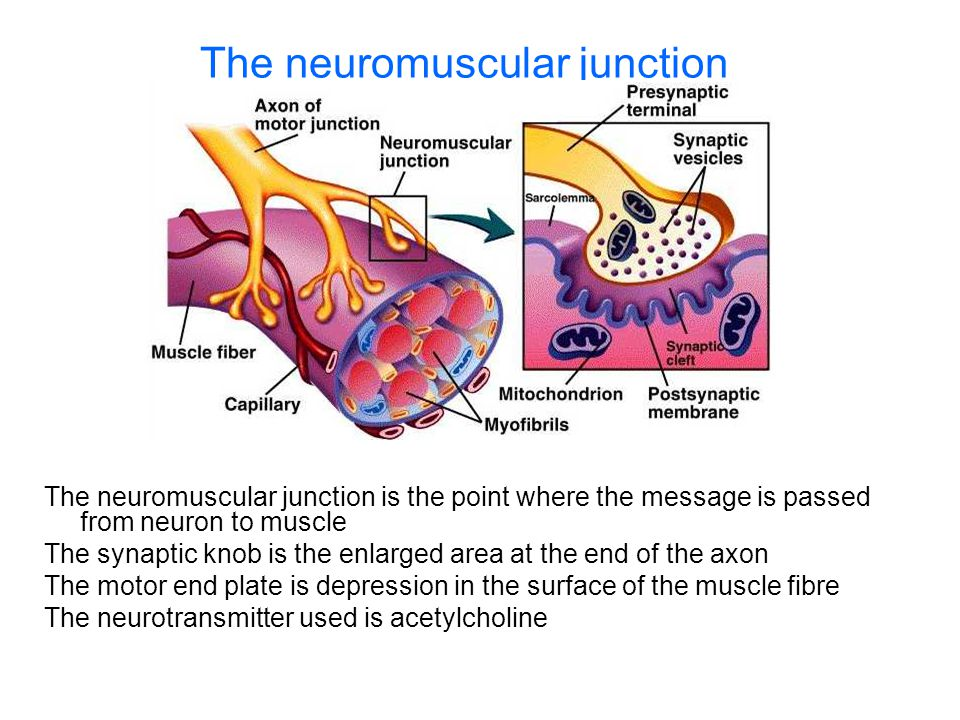 The neuromuscular junction The neuromuscular junction is the point where the message is passed from neuron to muscle The synaptic knob is the enlarged