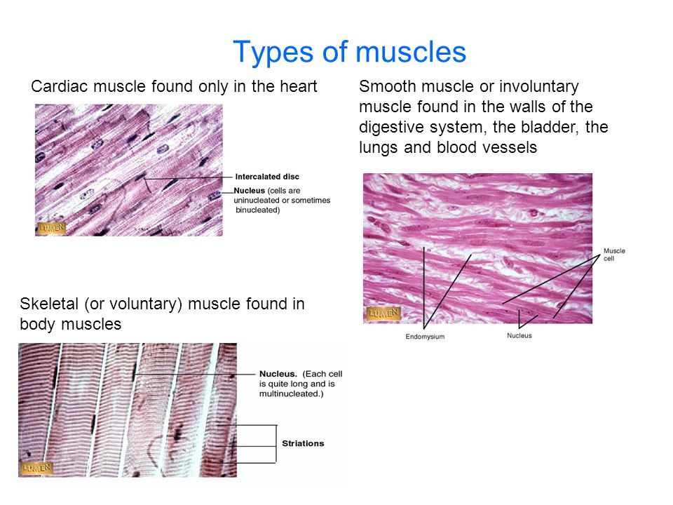 Types of muscles Cardiac muscle found only in the heartSmooth muscle or involuntary muscle found in the walls of the digestive system, the bladder, th