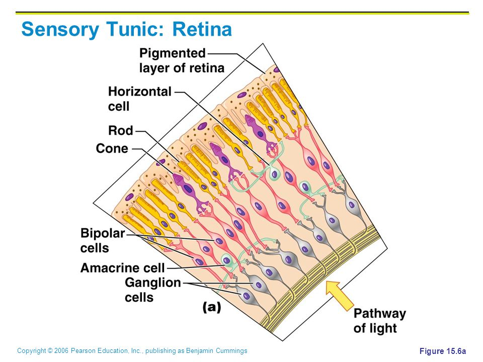 Copyright © 2006 Pearson Education, Inc., publishing as Benjamin Cummings Sensory Tunic: Retina Figure 15.6a