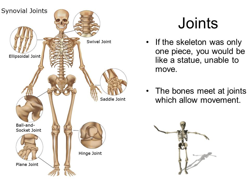 Joints If the skeleton was only one piece, you would be like a statue, unable to move. The bones meet at joints which allow movement.