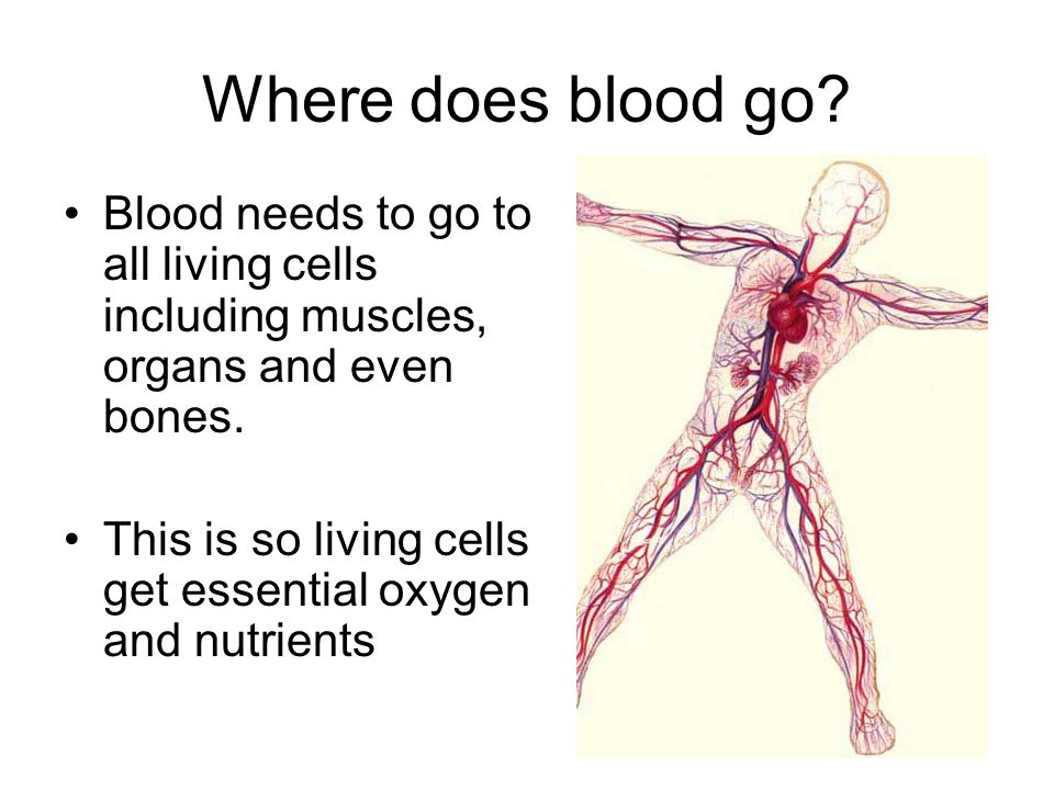 Where does blood go? Blood needs to go to all living cells including muscles, organs and even bones. This is so living cells get essential oxygen and
