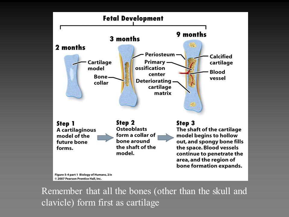 Remember that all the bones (other than the skull and clavicle) form first as cartilage