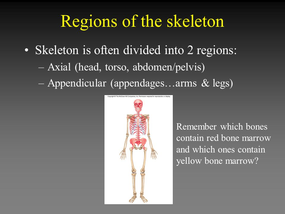Regions of the skeleton Skeleton is often divided into 2 regions: –Axial (head, torso, abdomen/pelvis) –Appendicular (appendages…arms & legs) Remember which bones contain red bone marrow and which ones contain yellow bone marrow?