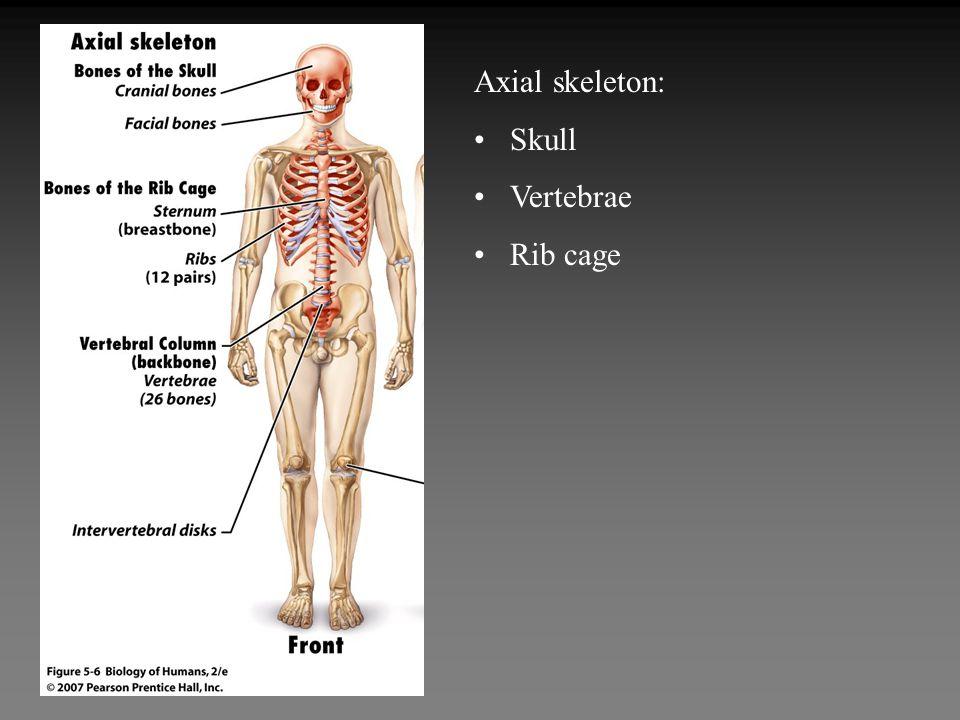 Axial skeleton: Skull Vertebrae Rib cage