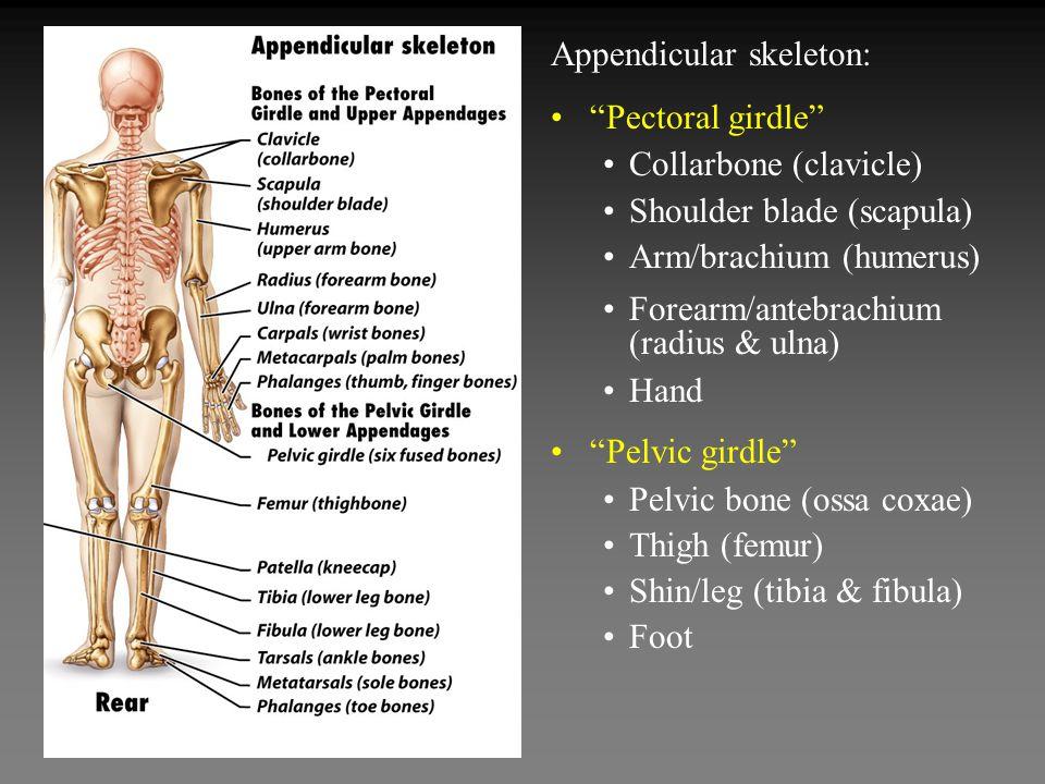 Appendicular skeleton: Pectoral girdle Collarbone (clavicle) Shoulder blade (scapula) Arm/brachium (humerus) Forearm/antebrachium (radius & ulna) Hand Pelvic girdle Pelvic bone (ossa coxae) Thigh (femur) Shin/leg (tibia & fibula) Foot