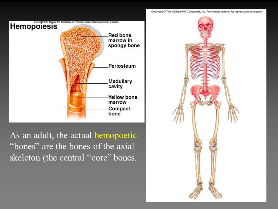 As an adult, the actual hemopoetic bones are the bones of the axial skeleton (the central core bones.