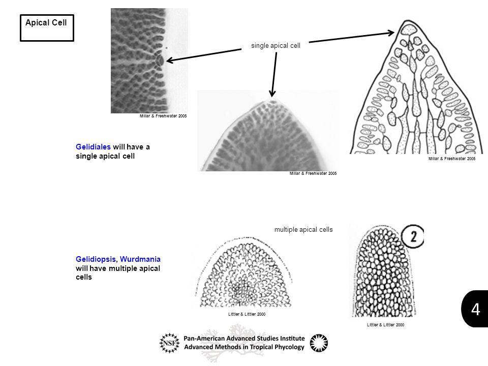 4 Apical Cell single apical cell multiple apical cells Gelidiales will have a single apical cell Gelidiopsis, Wurdmania will have multiple apical cells Millar & Freshwater 2005 Littler & Littler 2000