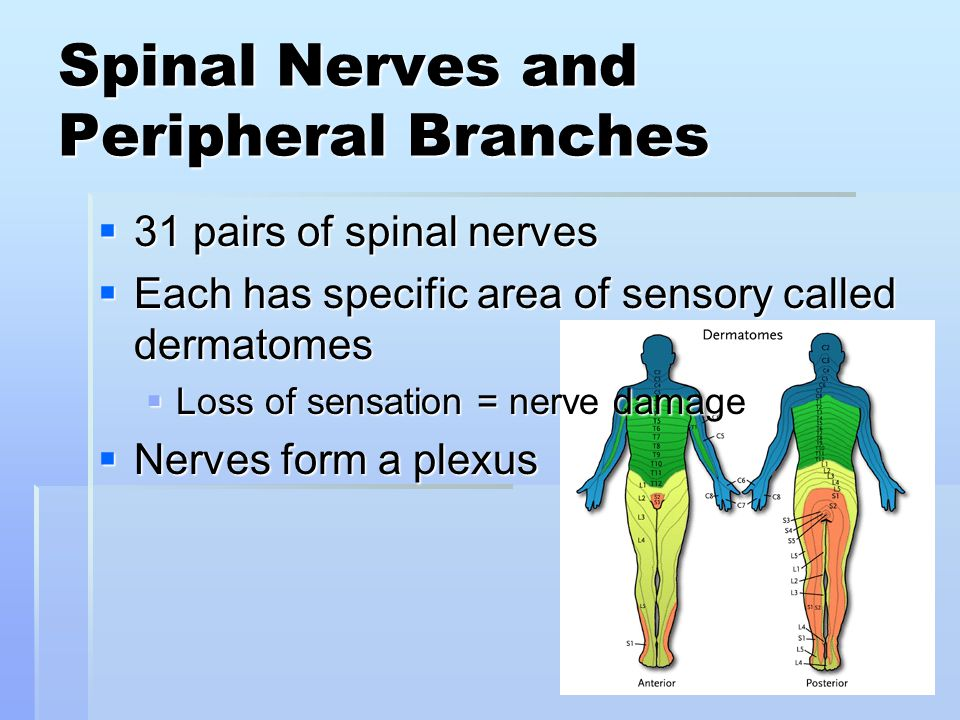 Spinal Nerves and Peripheral Branches  31 pairs of spinal nerves  Each has specific area of sensory called dermatomes  Loss of sensation = nerve da