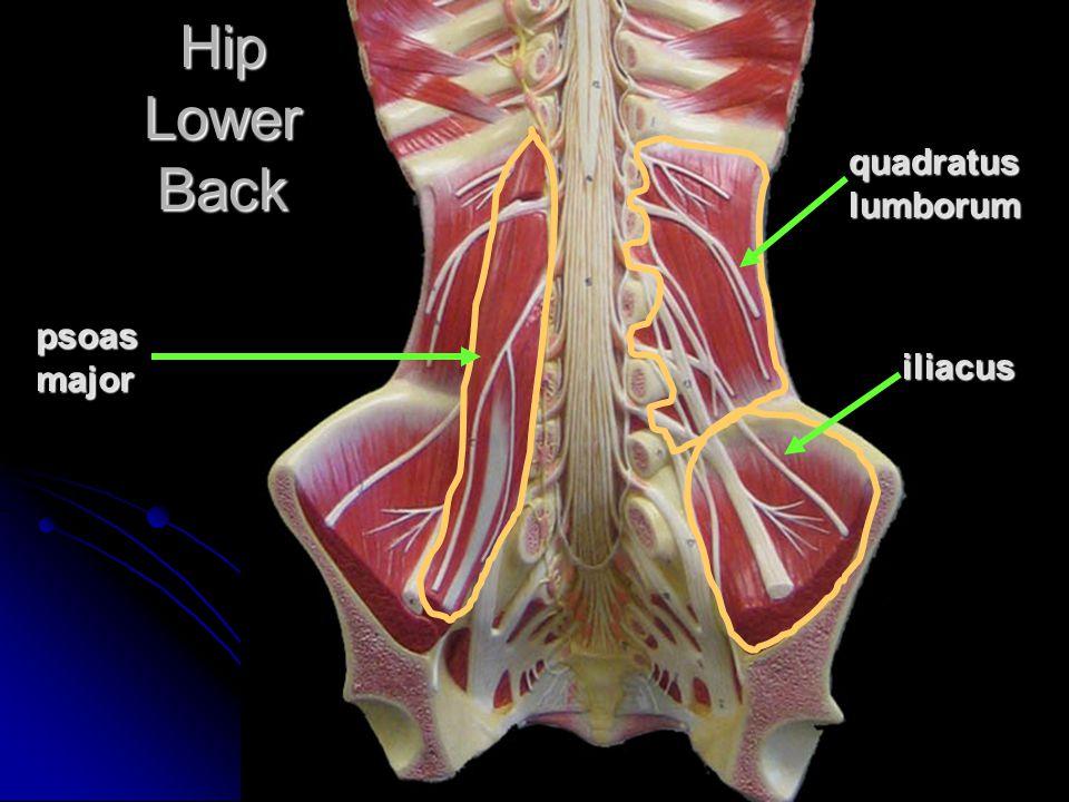 Hip Lower Back quadratuslumborum iliacus psoasmajor