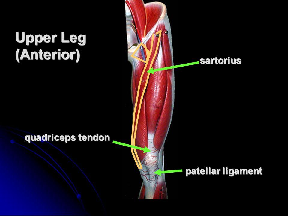 sartorius quadriceps tendon patellar ligament Upper Leg (Anterior)