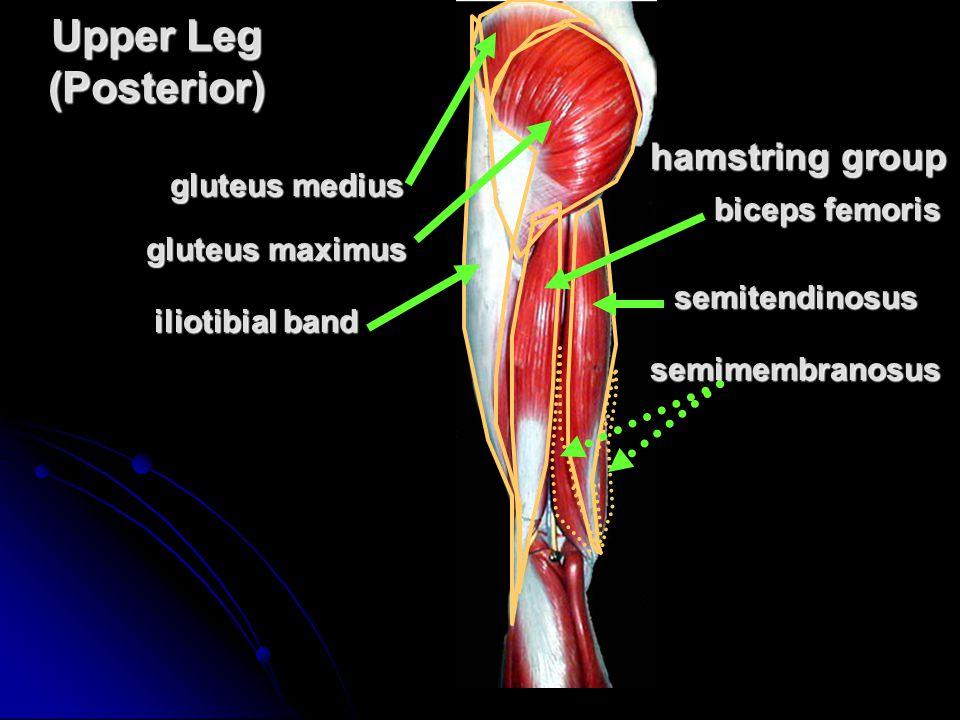 Upper Leg (Posterior) semimembranosus gluteus maximus iliotibial band hamstring group biceps femoris semitendinosus gluteus medius