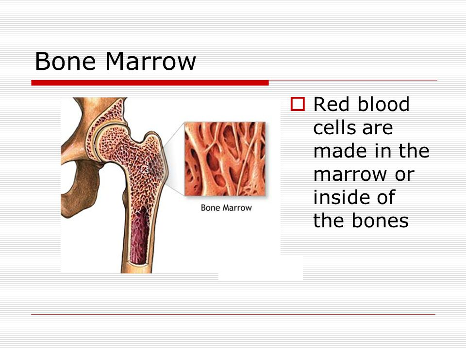 Bone Marrow  Red blood cells are made in the marrow or inside of the bones