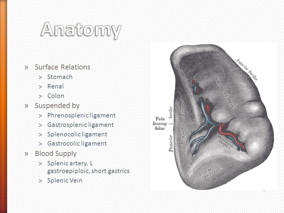 » Surface Relations ˃Stomach ˃Renal ˃Colon » Suspended by ˃Phrenosplenic ligament ˃Gastrosplenic ligament ˃Splenocolic ligament ˃Gastrocolic ligament » Blood Supply ˃Splenic artery, L gastroepiploic, short gastrics ˃Splenic Vein