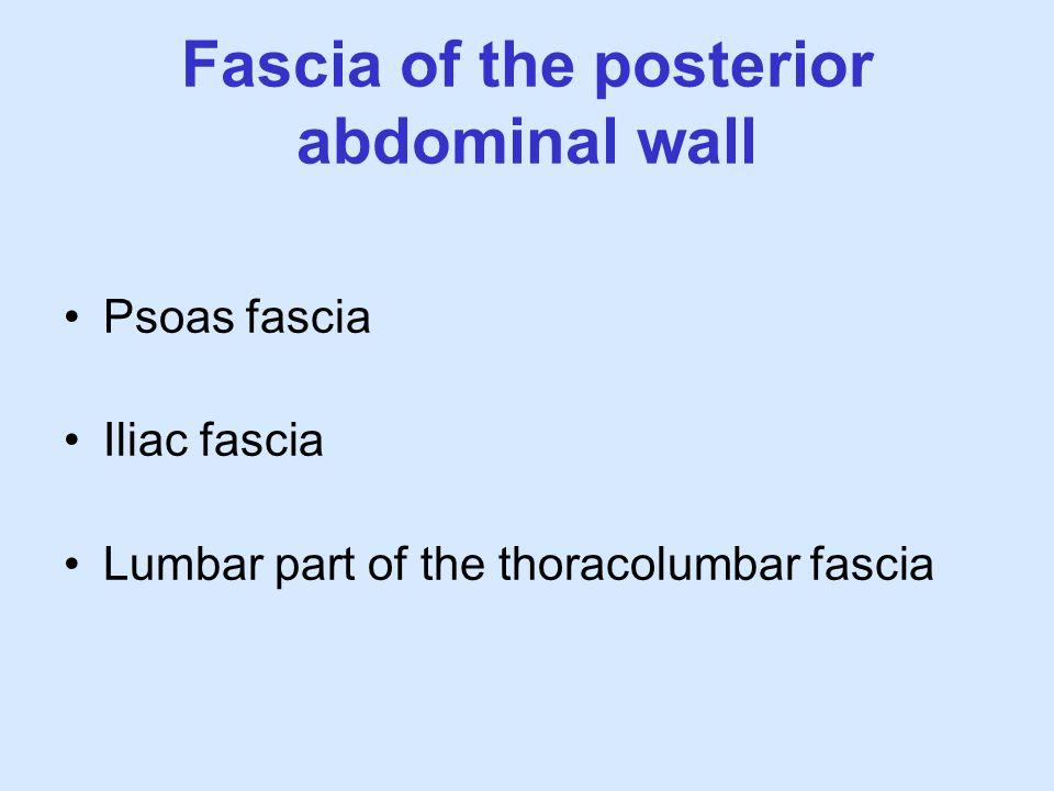 Fascia of the posterior abdominal wall Psoas fascia Iliac fascia Lumbar part of the thoracolumbar fascia