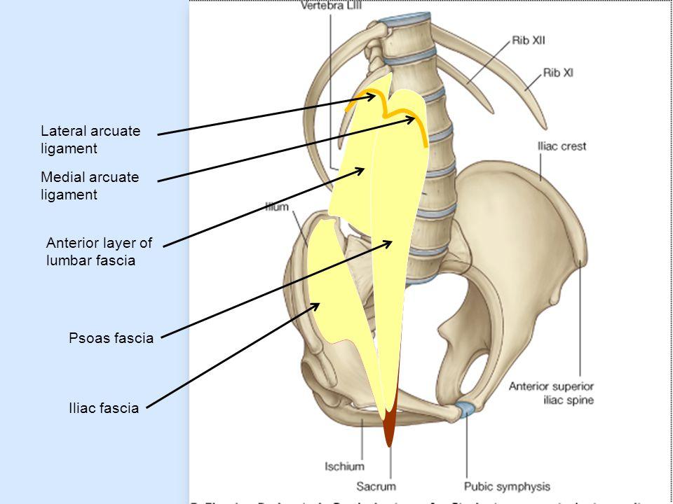 Anterior layer of lumbar fascia Iliac fascia Psoas fascia Lateral arcuate ligament Medial arcuate ligament