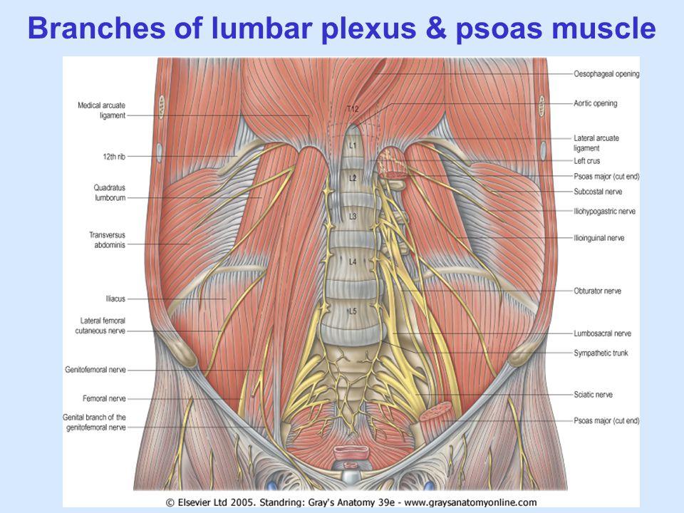 Branches of lumbar plexus & psoas muscle