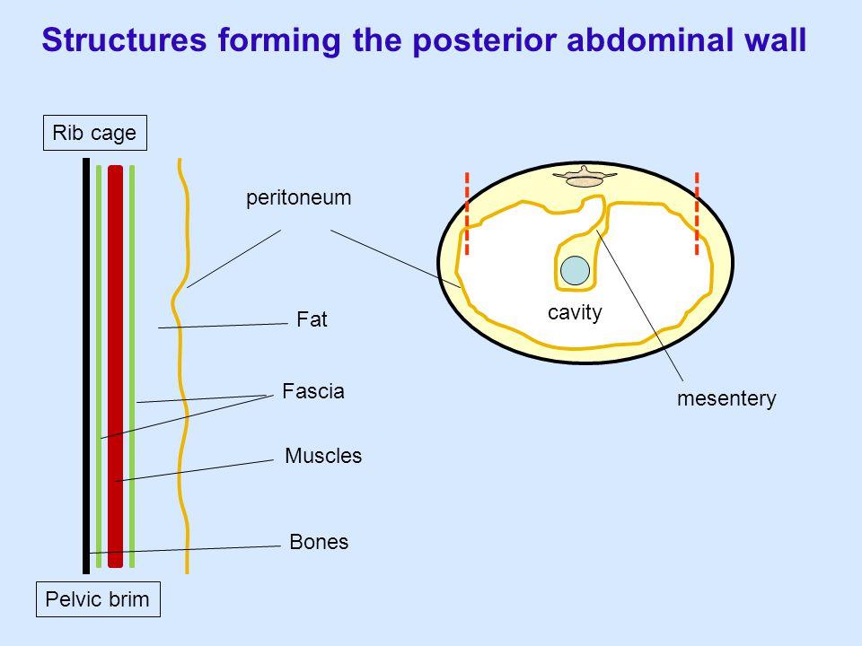 mesentery cavity Structures forming the posterior abdominal wall peritoneum Fat Fascia Muscles Bones Rib cage Pelvic brim